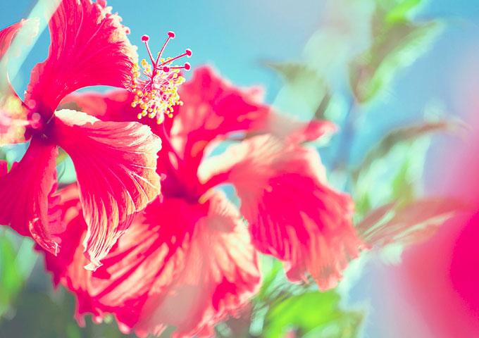 Hibiskus auf Mauritius